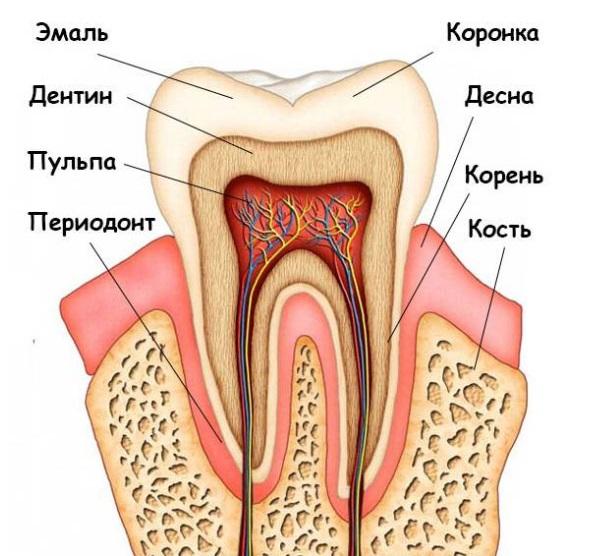 Структура зуба изнутри